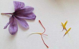 أجزاء مختلفة من زهرة الزعفران